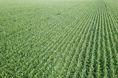 Campo di grano verde, campo di grano Immagine Stock