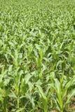 Campo di grano verde Fotografia Stock Libera da Diritti