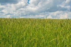 Campo di grano verde durante cloudly il giorno Immagini Stock