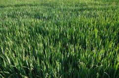 Campo di grano verde e non maturato Fotografie Stock