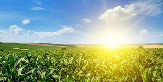 Campo di grano verde ed alba luminosa su cielo blu Ampia foto Fotografia Stock Libera da Diritti