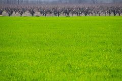 Campo di grano verde fertile al giorno di molla Fondo di agricoltura Fotografie Stock Libere da Diritti