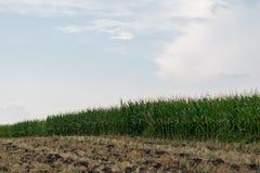 Campo di grano verde organico di Unharvested - agricoltura della campagna Fotografia Stock Libera da Diritti