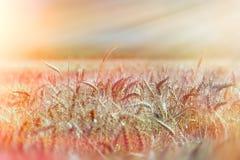Campo di grano verso la fine del pomeriggio Fotografia Stock Libera da Diritti