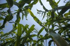 Campo di grano - vista dal fondo Immagine Stock