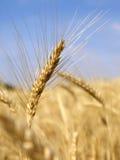 Campo di granulo 9 Fotografia Stock Libera da Diritti