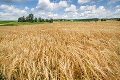 Campo di granulo in Baviera, Germania Fotografie Stock Libere da Diritti