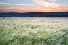 Campo di granulo che salta nel tramonto di estate del vento Fotografia Stock