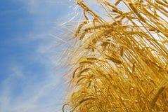 Campo di granulo crescente, agricoltura   Fotografia Stock Libera da Diritti