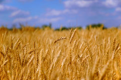 Campo di granulo del frumento Immagine Stock