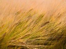 Campo di granulo del frumento nel vento Immagini Stock