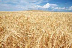 Campo di granulo dorato Fotografia Stock
