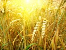 Campo di granulo e giorno pieno di sole Fotografia Stock