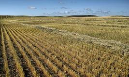 Campo di granulo raccolto Immagine Stock Libera da Diritti