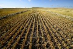 Campo di granulo raccolto Fotografia Stock