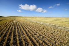 Campo di granulo raccolto Immagine Stock