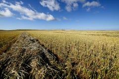 Campo di granulo raccolto Fotografia Stock Libera da Diritti