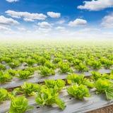 Campo di lattuga e di un cielo blu Fotografie Stock