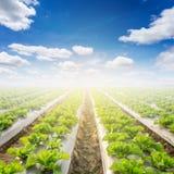 Campo di lattuga e di un cielo blu Fotografia Stock
