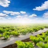 Campo di lattuga e di un cielo blu Immagine Stock Libera da Diritti