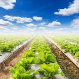 Campo di lattuga e di un cielo blu Immagini Stock Libere da Diritti