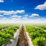 Campo di lattuga e di un cielo blu Fotografia Stock Libera da Diritti