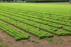 Campo di lattuga nelle pianure di estate Fotografie Stock Libere da Diritti