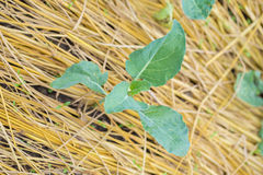 Campo di lattuga verde Fotografia Stock