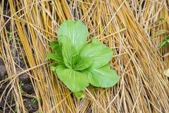 Campo di lattuga verde Immagini Stock Libere da Diritti