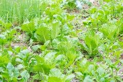 Campo di lattuga verde Immagine Stock Libera da Diritti