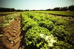 campo di lattuga verde con effetto d'annata Immagini Stock