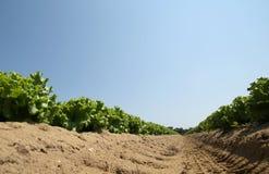 Campo di lattuga verde con suolo sabbioso fotografato da sotto Immagini Stock
