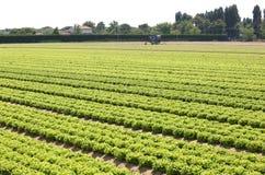 Campo di lattuga verde nella pianura di Padana in Italia del Nord Immagine Stock Libera da Diritti