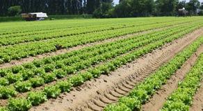 Campo di lattuga verde nella pianura di Padana in Italia del Nord Immagini Stock