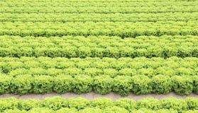campo di lattuga verde sviluppato su suolo sabbioso Immagini Stock