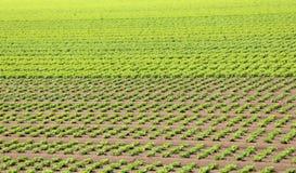 Campo di lattuga verde sviluppato su suolo sabbioso di estate Immagine Stock