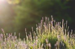 Campo di Lavendel Fotografia Stock