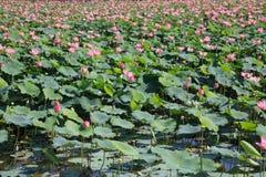 Campo di Lotus alla luce di giorno nel Vietnam Fotografia Stock