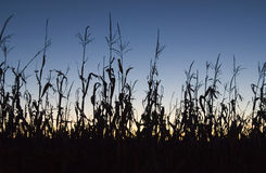 Campo di mais al tramonto Fotografie Stock