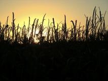 Campo di mais al tramonto Immagine Stock Libera da Diritti