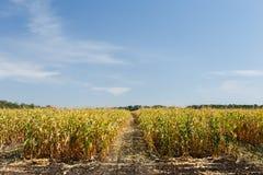 Campo di mais alla conclusione della stagione estiva Fotografie Stock Libere da Diritti