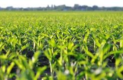 Campo di mais di mais alla mattina soleggiata di estate Fotografia Stock