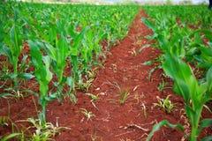 Campo di mais del fertil e di verde Immagini Stock