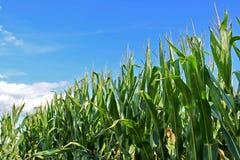 Campo di mais del Michigan con cielo blu Fotografia Stock Libera da Diritti