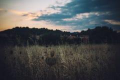 Campo di mais di estate al crepuscolo con il cielo painterly Fotografia Stock