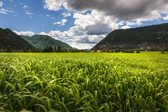Campo di mais di estate vicino a Montmaur, Hautes-Alpes, alpi del sud, Fotografia Stock Libera da Diritti