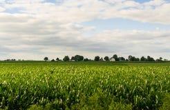 Campo di mais di Midwest nel pomeriggio Fotografia Stock