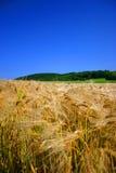 Campo di mais e cielo blu fotografia stock