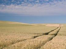 Campo di mais in estate Fotografie Stock Libere da Diritti
