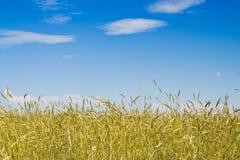 Campo di mais in giorno pieno di sole Fotografia Stock Libera da Diritti